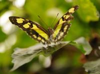 butterfly_5134 copy