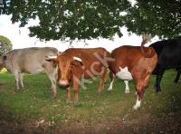 cows_7487-copy