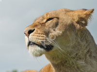 lioness_7162 copy
