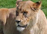 lioness_7181 copy