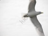 seagull_1578 copy